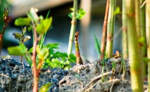 Growth shoots leaves in Spring