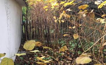 japanese knotweed treatment cornwall devon somerset uk