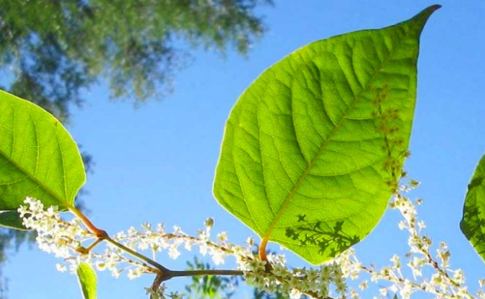 Can Japanese Knotweed Grow Through Concrete?