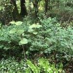 images of japanese knotweed identification cornwall uk
