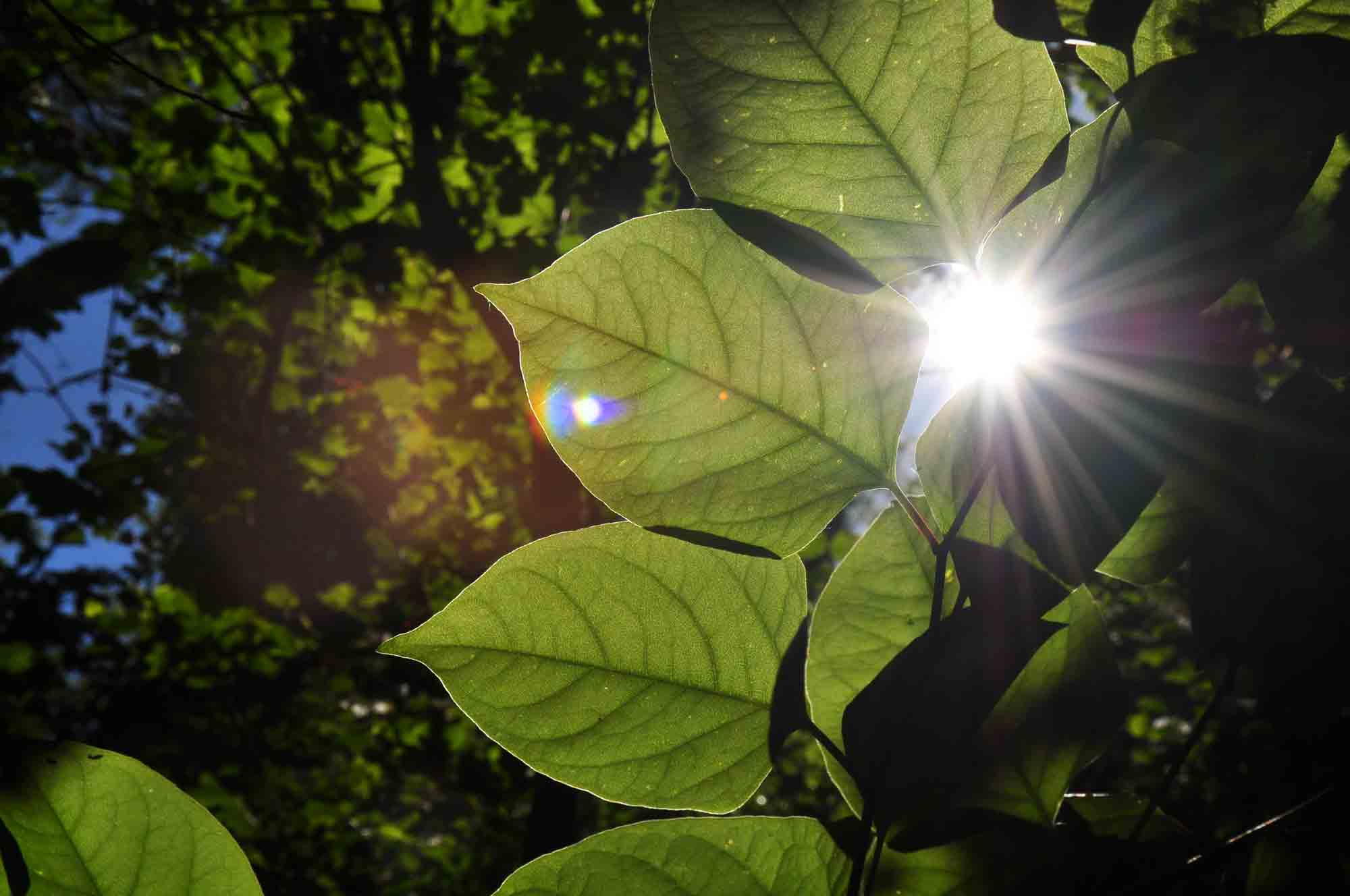 Images Pictures Photos Japanese Knotweed Leaves Leafs Southwest