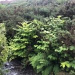 japanese knotweed pictures cornwall uk