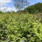 photos of japanese knotweed identification cornwall uk