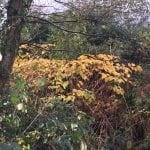 pictures of japanese knotweed removal cornwall uk