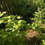 pictures of japanese knotweed treatment cornwall uk
