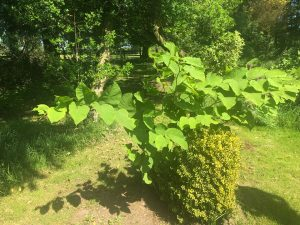 Hybrid Knotweed Surveys Barnstaple Devon