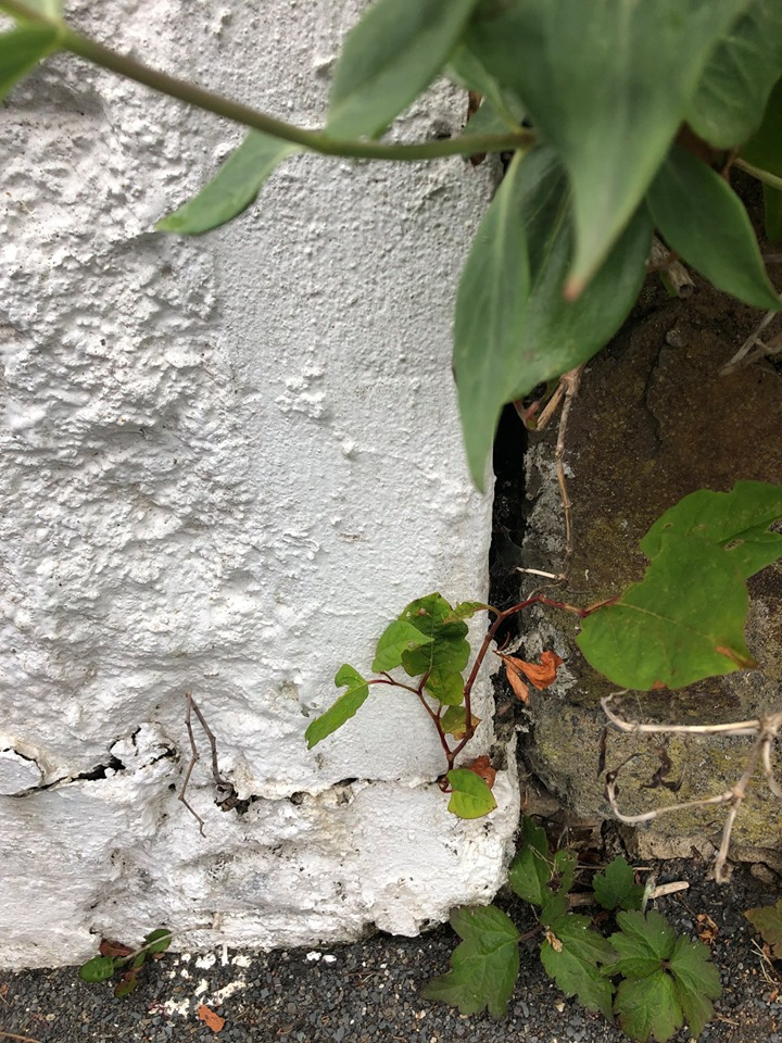 Japanese Knotweed Surveys Bideford Devon