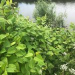 Japanese Knotweed Surveys Kingsbridge Devon