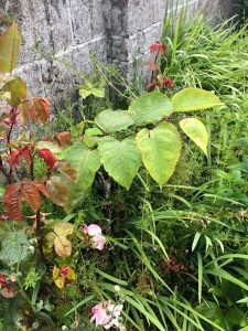 Japanese Knotweed Surveys Yelverton Devon