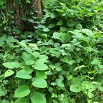Japanese Knotweed Surveys South Brent Devon