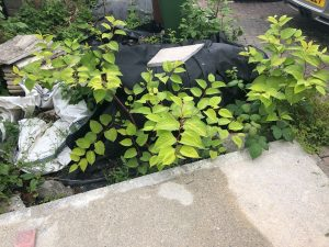 Japanese Knotweed Survey Plymouth Devon