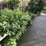 knotweed surveys cornwall