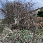 knotweed cornwall